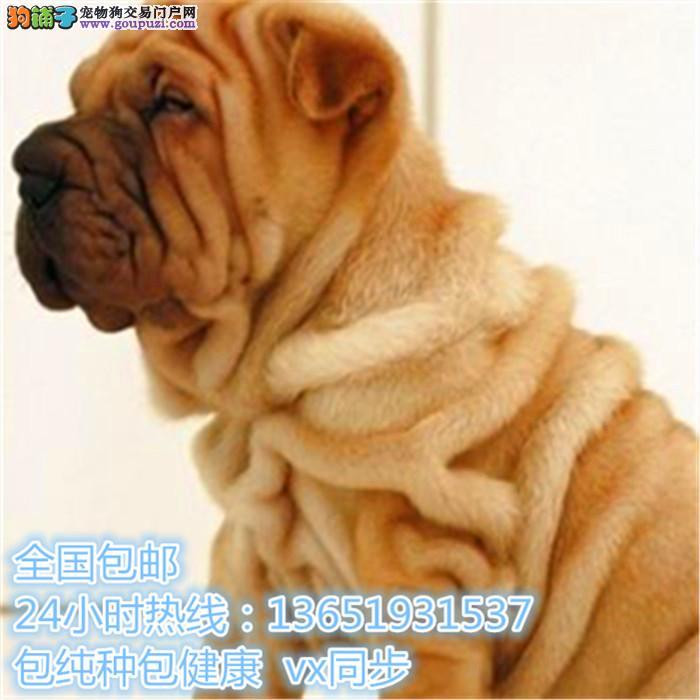 精品沙皮,支持上门看狗狗,包健康纯种包养活