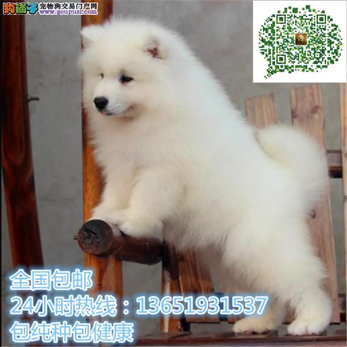 精品萨摩耶犬,支持上门看狗狗,包健康纯种包养活
