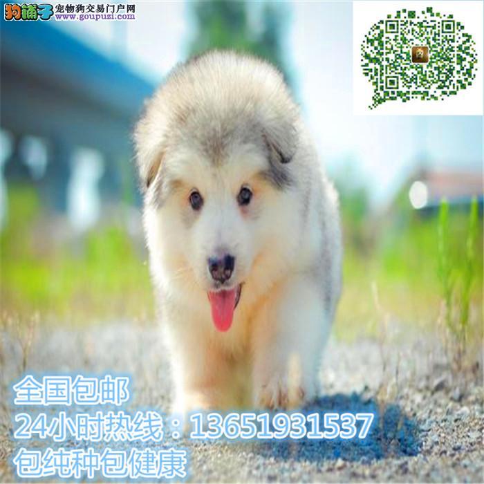 精品阿拉斯加犬,支持上门看狗狗,包健康纯种包养活