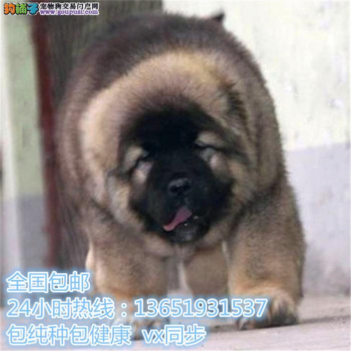 精品高加索犬,支持上门看狗狗,包健康纯种包养活