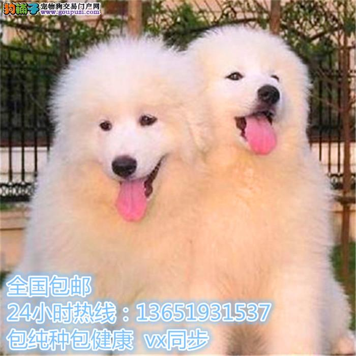 精品大白熊,支持上门看狗狗,包健康纯种包养活