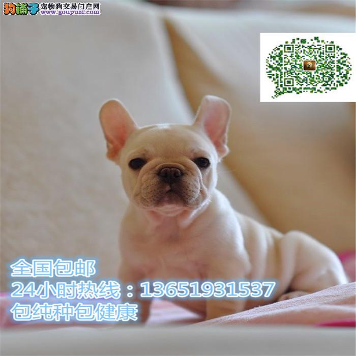 养殖场直销法斗幼犬包养活签协议上门可选