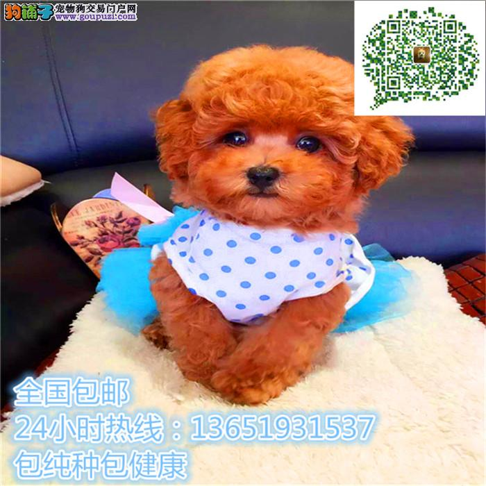 养殖场直销茶杯犬 幼犬包养活签协议上门可选