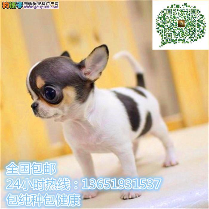 养殖场直销吉娃娃 幼犬包养活签协议上门可选