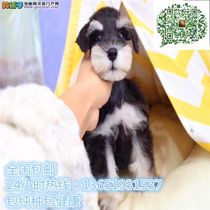 养殖场直销雪纳瑞幼犬包养活签协议上门可选
