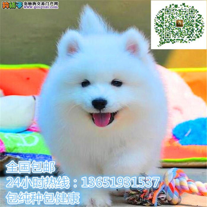 养殖场直销萨摩耶 幼犬包养活签协议上门可选