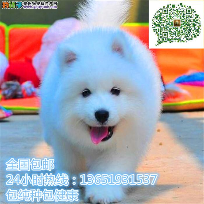 精品萨摩耶,支持上门看狗狗,包健康纯种包养活