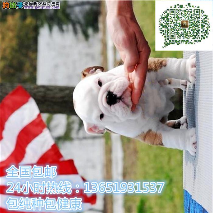 精品英斗犬,支持上门看狗狗,包健康纯种包养活