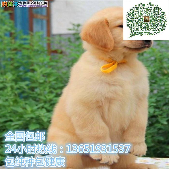 精品金毛犬,支持上门看狗狗,包健康纯种包养活