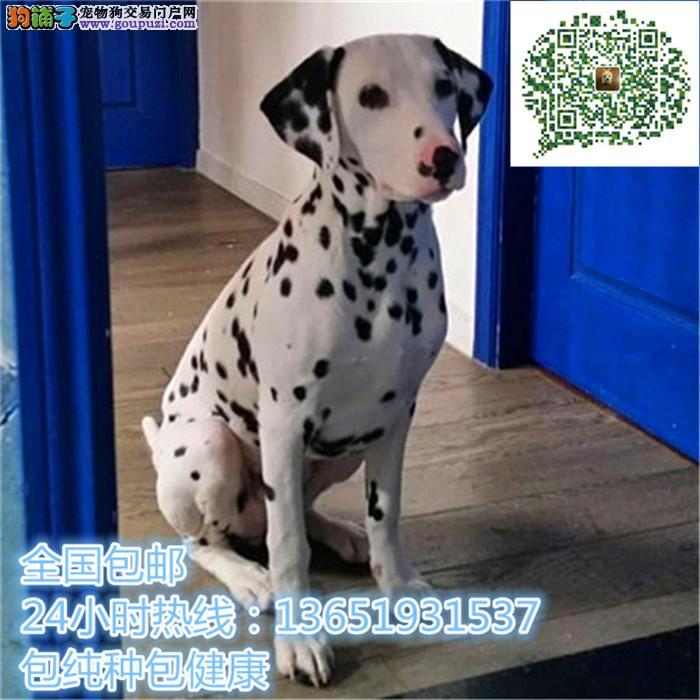 精品斑点犬,支持上门看狗狗,包健康纯种包养活