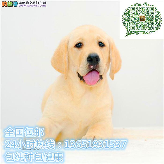 高品质出售拉布拉多宠物狗狗 保纯种 保健康