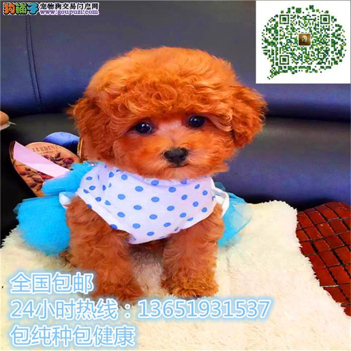 高品质出售贵宾犬宠物狗狗 保纯种 保健康