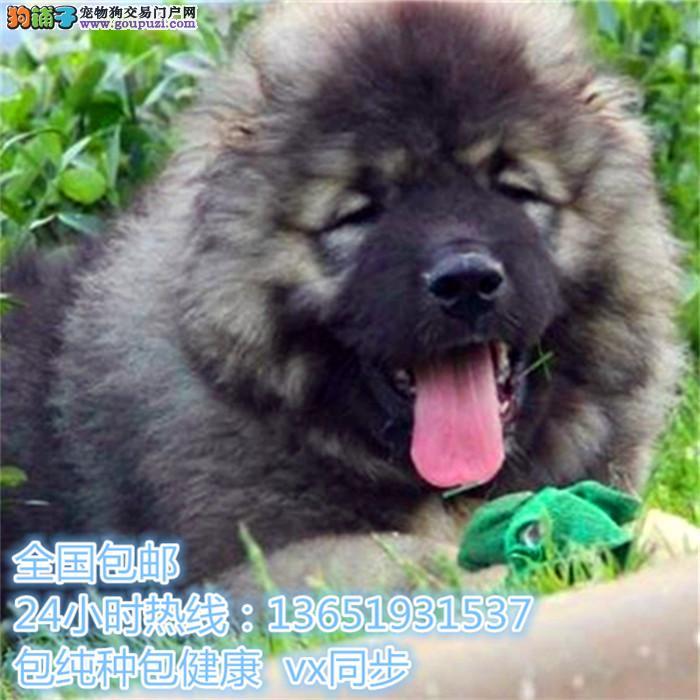 巨型熊版狮子头高加索犬 猛犬 看家护院 多窝选