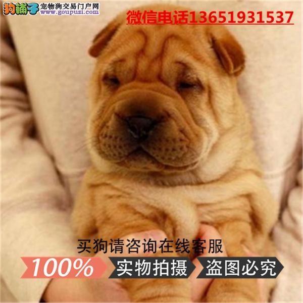 精品沙皮犬,支持上门看狗狗,包健康纯种包养活