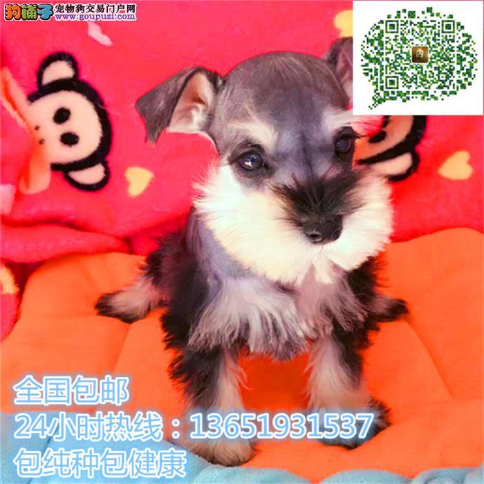 老头犬爱玩活泼雪纳瑞cku赛级雪纳瑞 冠军犬