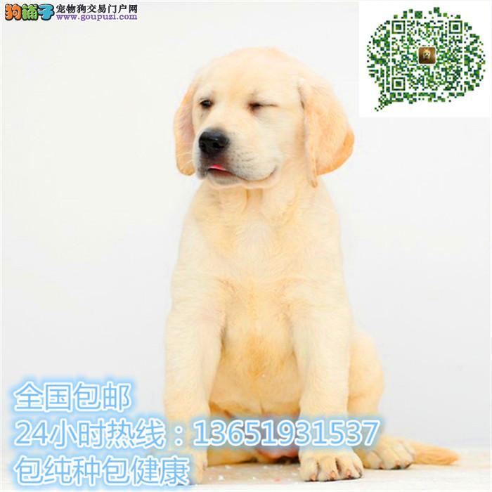 忠厚老实的小拉布拉多导盲犬幼犬 庭伴侣犬