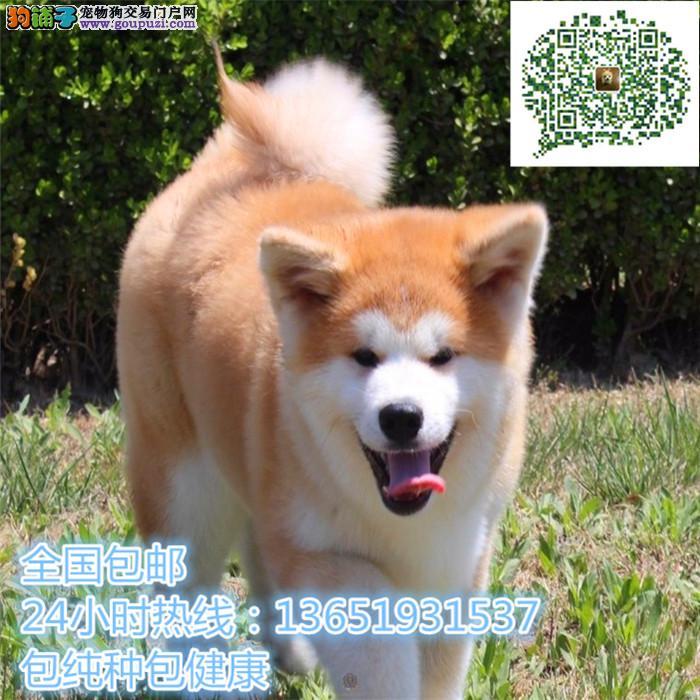 日系秋田犬各种档次都有 保证健康纯种