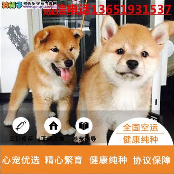 纯种日系柴犬幼犬保健康终身质保