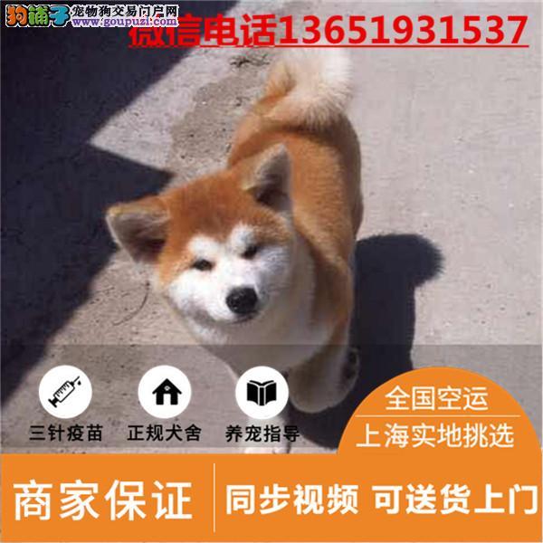 秋田幼犬日系秋田犬各种档次健康纯种