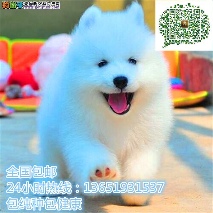 高品质出售中亚牧羊犬 保纯种 保健康