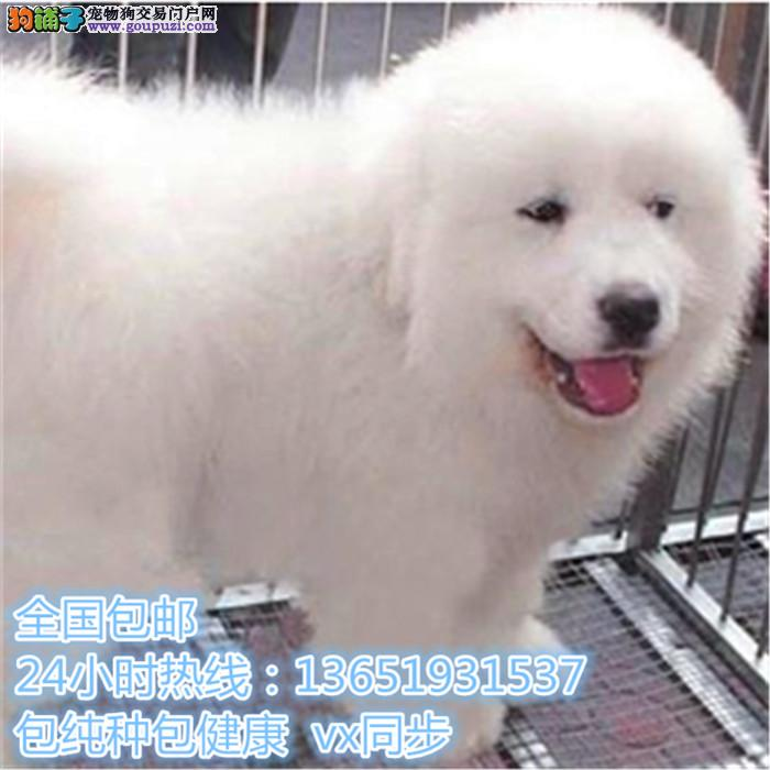 高品质出售大白熊宠物狗狗 保纯种 保健康