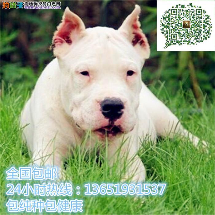 杜高幼犬 自家狗场繁殖价格实惠 可直接视频挑选