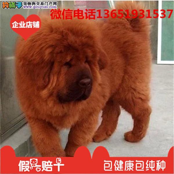 高品质出售藏獒宠物狗狗 保纯种 保健康