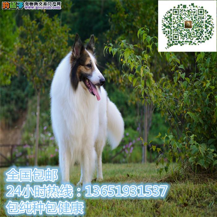高品质出售苏牧宠物狗狗 保纯种 保健康