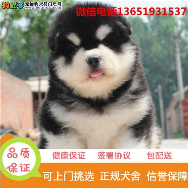 高品质出售阿拉斯加犬宠物狗狗 保纯种 保健康