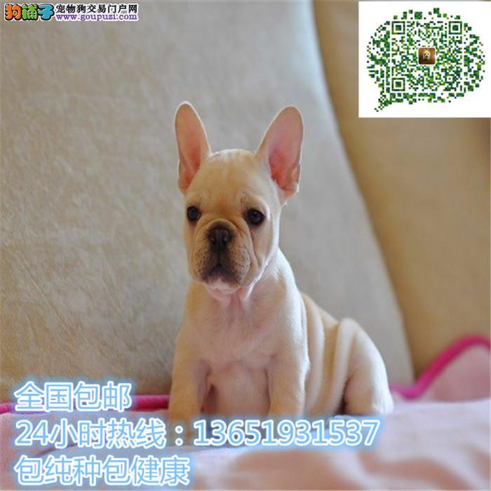 高品质出售法斗宠物狗狗 保纯种 保健康