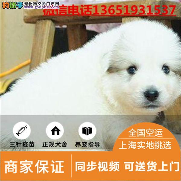 高品质出售伯恩山宠物狗狗 保纯种 保健康