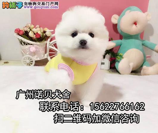 纯种俊介犬出售 韩国进口