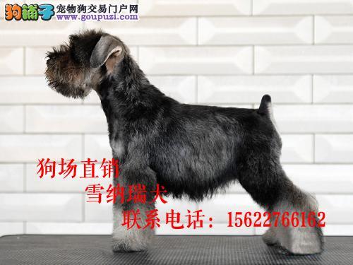 雪纳瑞出售 多种颜色挑选可以微信看狗