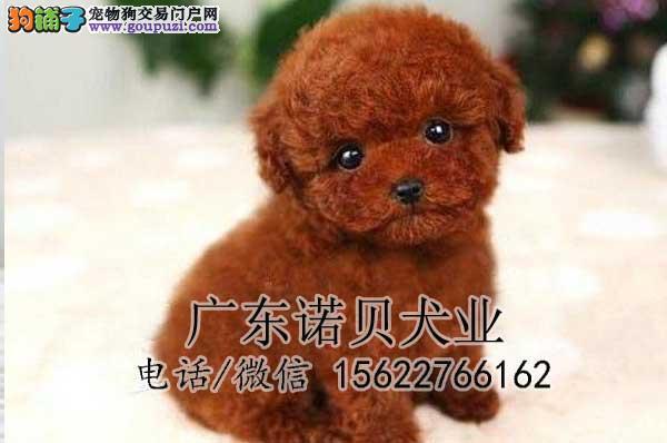 茶杯犬出售 纯种健康保证