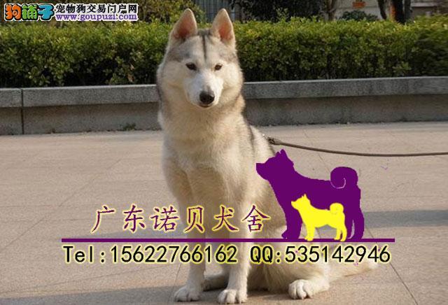 广州买哈士奇小狗什么价格 哈士奇多少钱一只