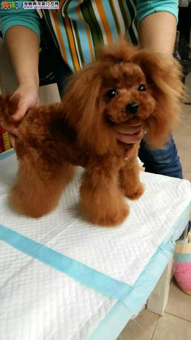 家养小型犬泰迪熊,各种颜色都有