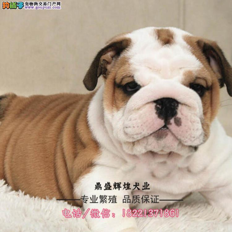 纯种伯恩山犬多色可选血统纯正身体健康已做防疫 出售