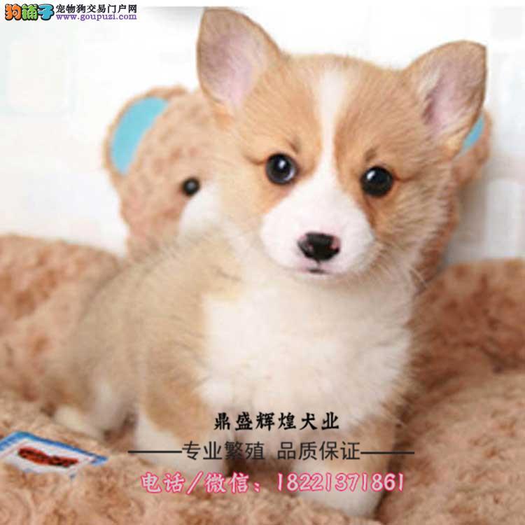 出售纯种柯基犬 幼犬 两色三色 威尔士柯基 宠物狗狗