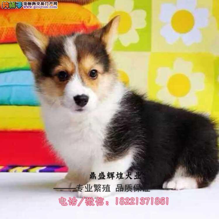 出售血统柯基犬纯种幼犬 适合家养宠物狗可上门看狗狗