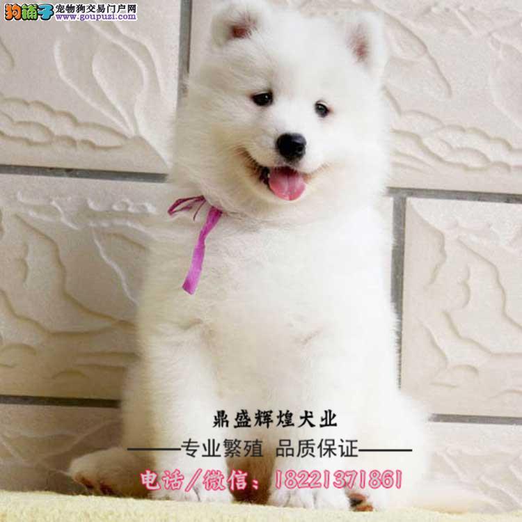 赛级狼狗、有血统、纯种健康、完善售后、免费送货