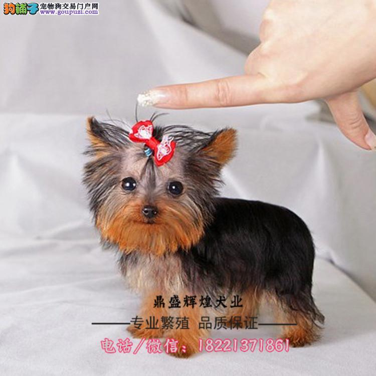 出售纯种斑点狗 大麦町犬 斑点犬 幼犬 宠物活体