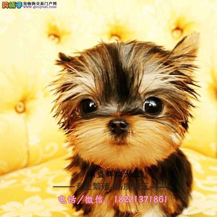 出售纯种繁殖高品质金头银背约克夏幼犬出售中