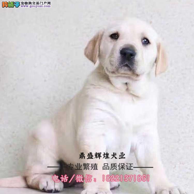 出售纯种拉布拉多 黑色黄色咖啡色拉多幼犬