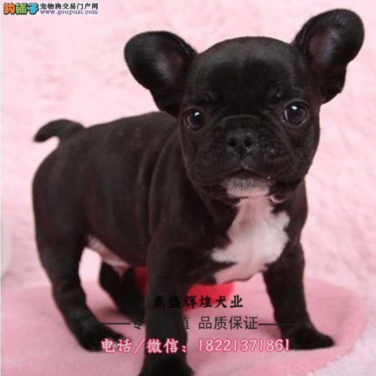 出售斗牛犬幼犬 可爱健康 多年信誉保证