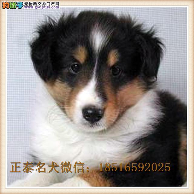 出售纯种牧羊犬 纯种中亚牧羊犬 疫苗驱虫已做齐