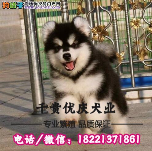 可爱阿拉斯加出售诚信犬舍繁殖直销 包成活送用品