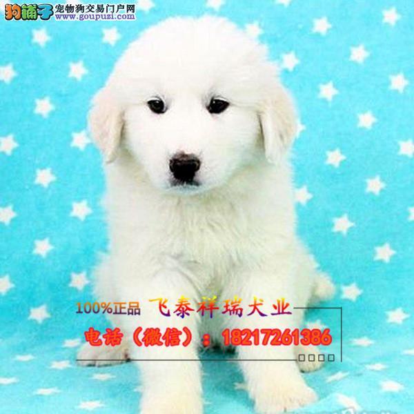 大白熊犬 巨型白狗 宠物级大白熊幼犬 大白熊纯种狗狗
