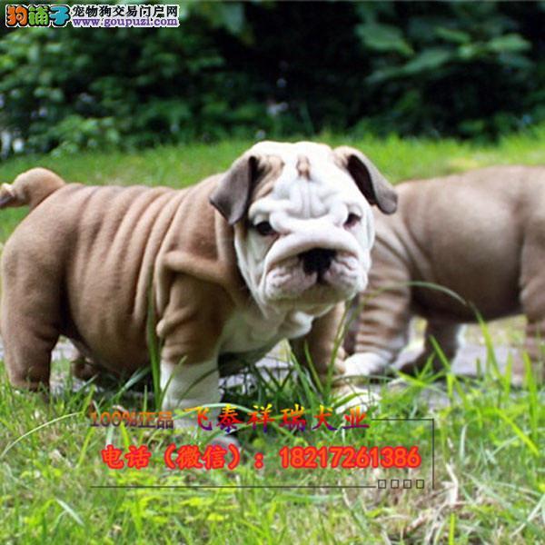 实物拍摄纯种英牛/法牛 保证健康 可签署购犬协议