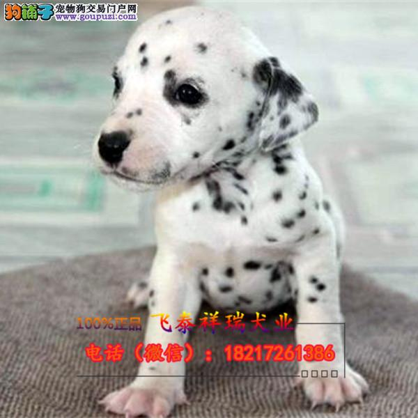 纯种 斑点狗多色可选血统纯正身体健康已做防疫