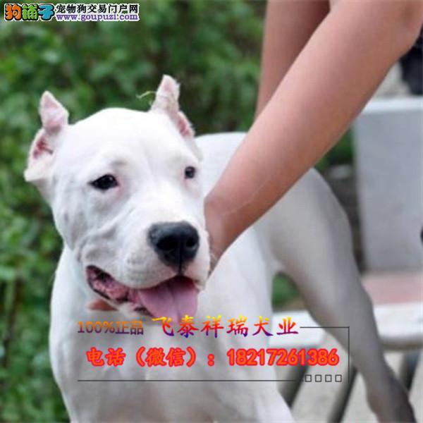 CKU杜高犬,保健康,保纯种,签协议,可见狗狗父母